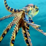 maculotoxin-blue-ring-octopus